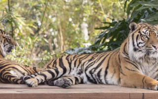 AV installation - Sumatran Tiger Experience for Taronga Zoo, Sydney