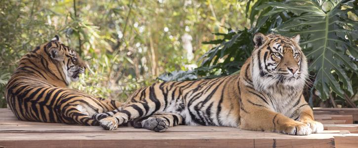 AV installation - Sumatran Tiger Experience for Taronga Zoo, Sydney